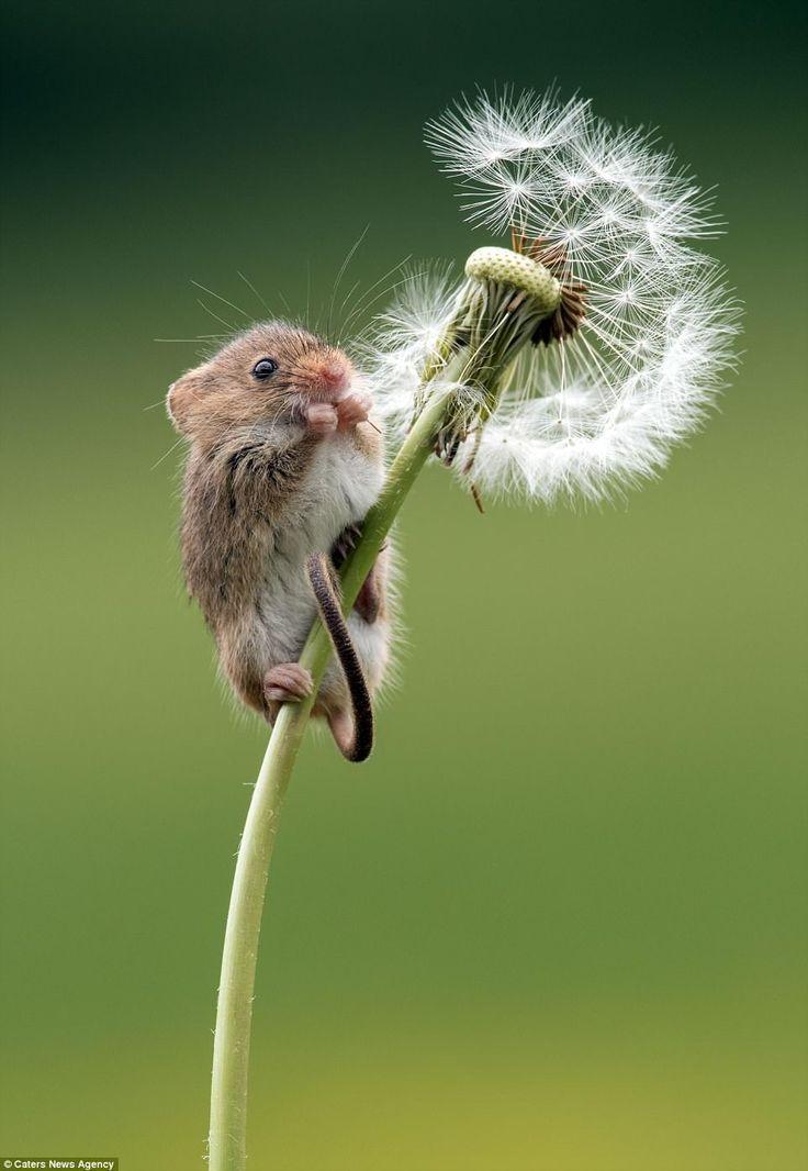 Ich habe eine Maus gesehen, wo? Da auf den Butterblumen! –   #