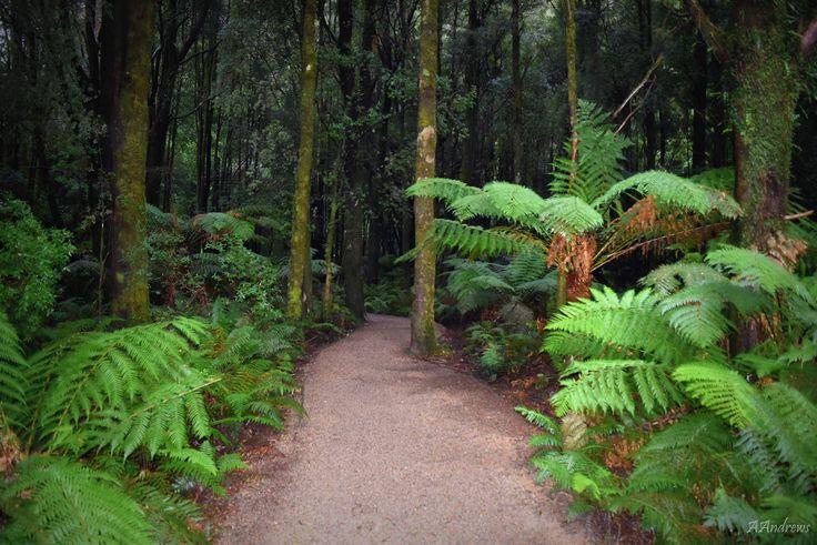 Rain forest.  Tasmanian wilderness.