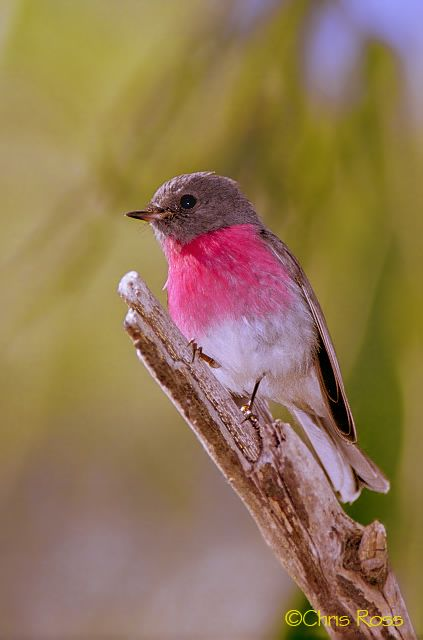 The Rose Robin