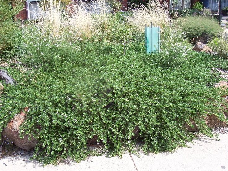 Myoporum parvifolium (creeping boobialla) - Ground cover
