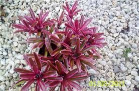 Image result for bromeliads to plant in full sun
