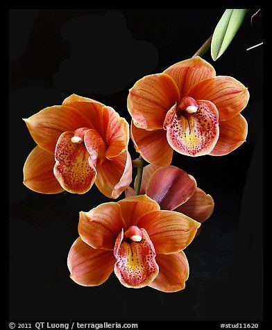 Cymbidium Dorothy Stockstill 'Forgotten Fruit'. A hybrid orchid (color) - photo  by QT Luong