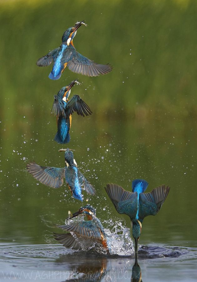 Kingfishers are a group of small to medium sized brightly coloured birds in the order Coraciiformes. They have a cosmopolitan distribution, with most species being found in the Old World and Australasia.  Kingfisher eruption sequence by Tony House, via 500px