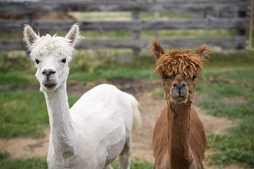 Shaved alpacas | Shaved Alpacas | Just a shot of some recently shaved Alpaca'… | Flickr