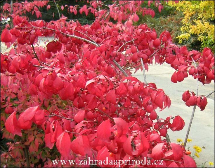Keře opadavých brslenů bývají na podzim nádherné. Jejich kontrastní plody jsou po otevření velmi atraktivní, listy se vybarvují do žlutých a karmínově červených odstínů. Barevné listy a plody spole…