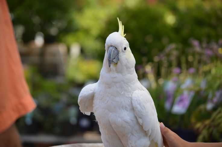 Charlie, the resident cockatoo