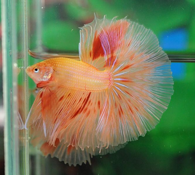 42 best images about betta fish on pinterest tropical for Best water for betta fish