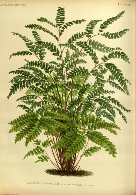 v.36 (1889) - L'Illustration horticole : - Biodiversity Heritage Library
