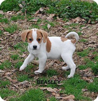 Yardley, PA - Beagle/Chihuahua Mix. Meet Beasley, a puppy for adoption. http://www.adoptapet.com/pet/12666383-yardley-pennsylvania-beagle-mix