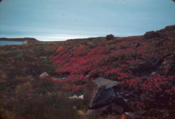 Pink flowers carpeting tundra in Arviat (formerly Eskimo Point), Nunavut, by D.B. Marsh / Des fleurs roses recouvrent la toundra à Arviat (anciennement Eskimo Point), au Nunavut; photo de D. B. Marsh   by BiblioArchives / LibraryArchives