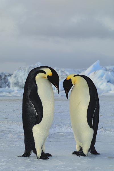 Emperor Penguin Colony Cape Crozier Ross Island