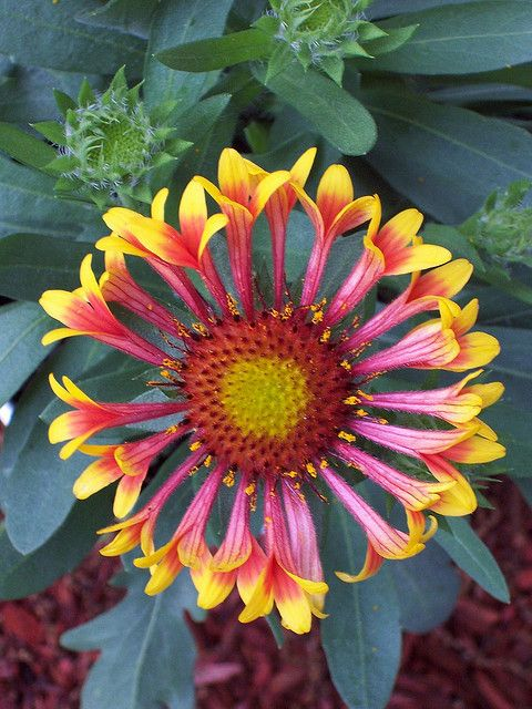 Blanket Flower – Daisy-like flowers are red with yellow margins blooming in June through October. Plants grow 10 to 14 inches tall with gray-green, hairy leaves. Grows best in full sun in well-drained soil. Plants attract butterflies. Deer resistant. Photo shown: Gaillardia xgrandiflora 'Kobold'.