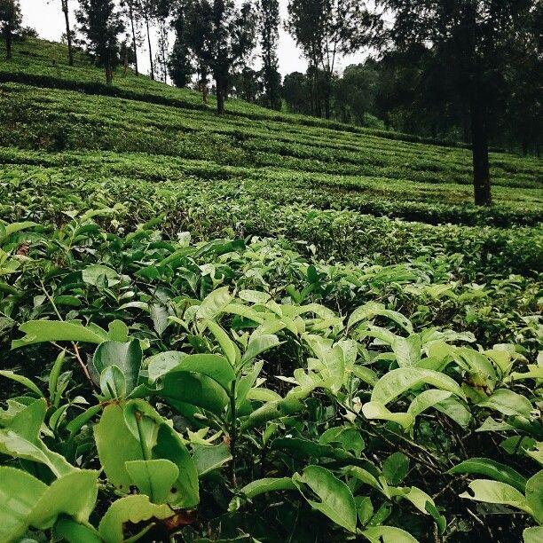 Kebun Teh, Gunung Mas Puncak, Bogor Jawa Barat Fotografi