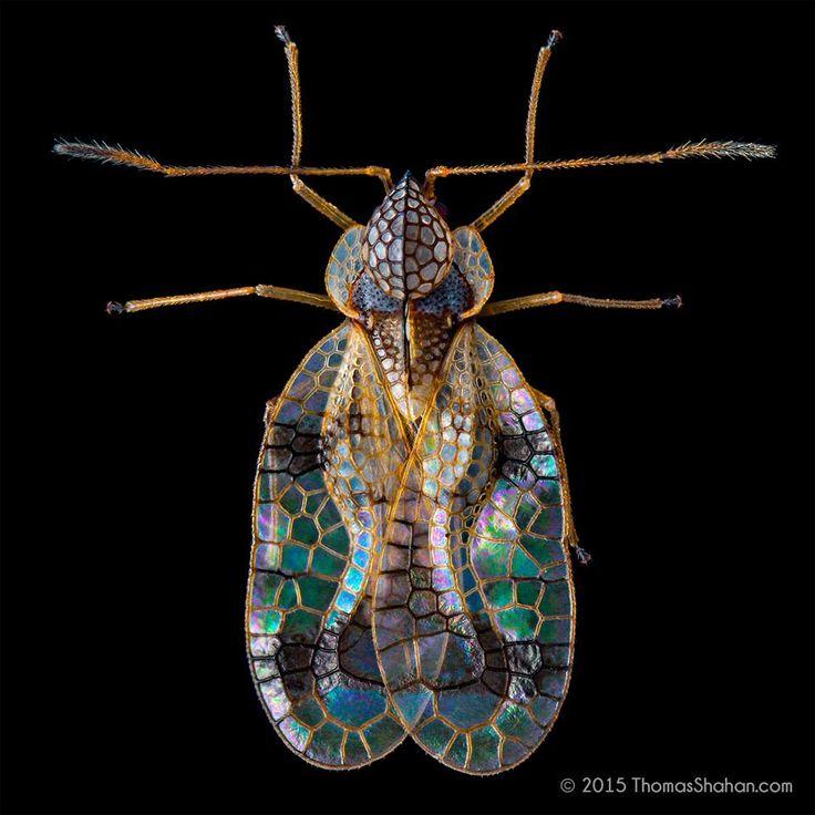 Azalea lace bug, Stephanitis pyrioides by Thomas Shahan