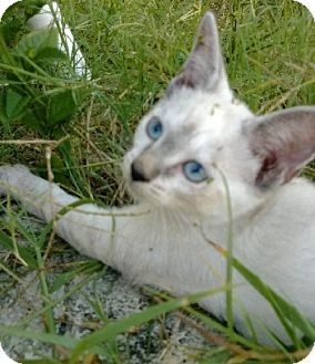 Melbourne, FL Siamese. Meet Sassie a Cat for Adoption