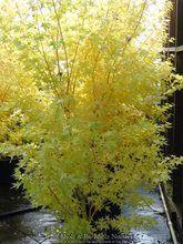Acer palmatum ' Bihou ' Coral Yellow Bark Japanese Maple Tree - Kigi Nursery