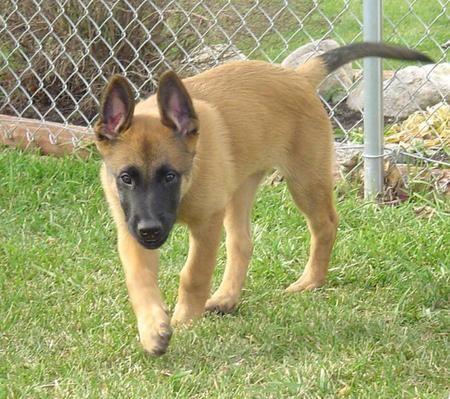 belgian malinois puppy | Singapore Belgian Malinois Breeders, Grooming, Dog, Puppies, Reviews ...