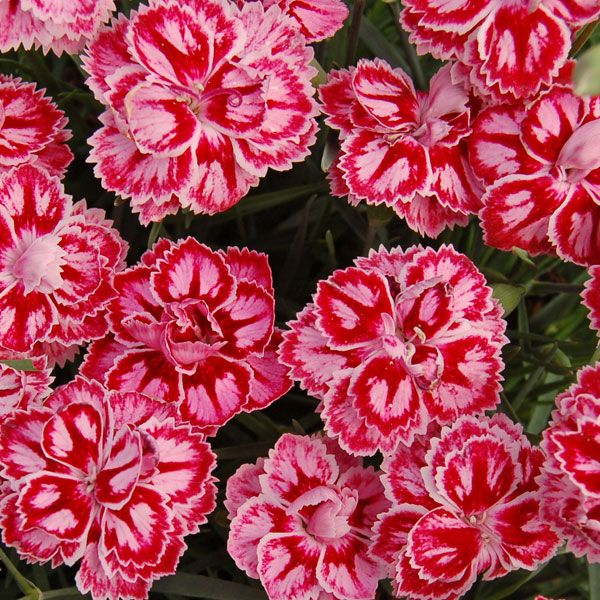 Dianthus Starburst Flowers And Plants Pinterest