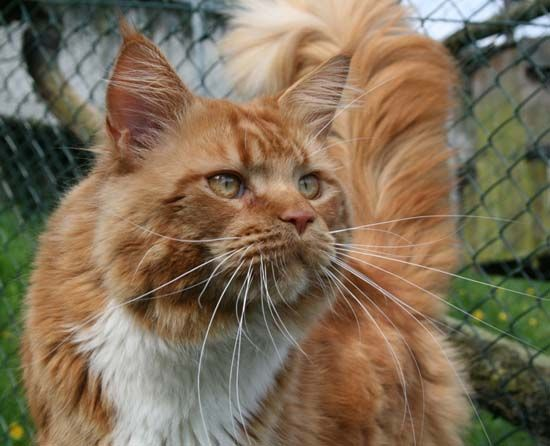Maine Coon, Red Solid & White (d 09). Ch. Belushies Red Seal