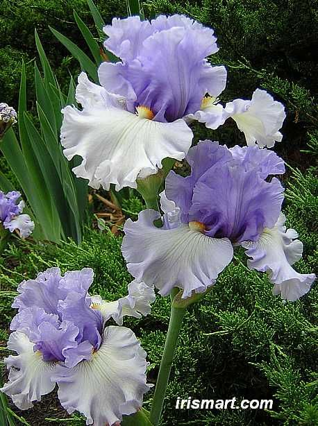 Tall Bearded Iris 'Dance Recital' (Iris germanica)