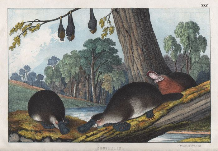 Ornithorhyncus (Platypus) and Flying Fox, Colour lithograph. From 'The Instructive Picture Book. Lessons From The Geographical Distribution Of Animals Or The Natural History Of The Quadrupeds Which Characterise The Principal Divisions Of The Globe.'By M. H. H. I. Published by Edmonston & Douglas, 1860.