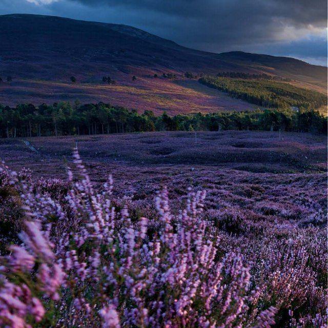 @natgeo Mayıs sayısından... İskoçya da fundalıklar... Fundalıkların alametifarikası süpürge çalısı morun yanı sıra pembe ve beyaz olarak da açan çok yıllık bir bitki. Bu arazi Aberdeenshredeki Mar Lodge  Malkânesinde Dee Nehrine kadar iniyor. Halihazırda İskoçya Ulusal Vakfına ait olan Mar Lodgeda  orman iyileştirme programı sürdürülüyor. #İskoçya #Scotland #Nature #Doğa