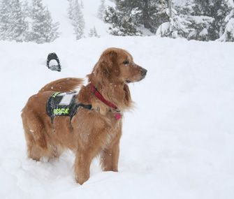 Magic, an avalanche search and rescue dog. What a helpful puppy.