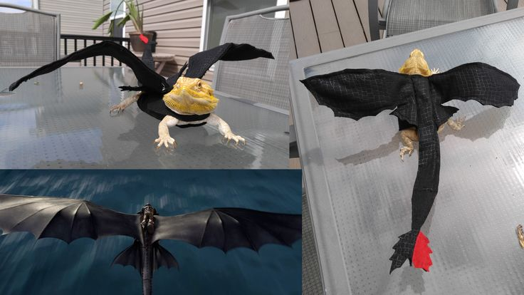 This is our NEW Toothless costume my daughter and I made for her Bearded dragon, Cinnamon! Check out our videos on YouTube! https://www.youtube.com/channel/UCzaVoLWFdfLLaq6z2lVhZ4Q/featured