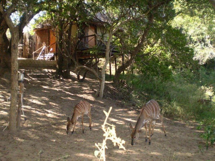 Nyala Grazing Outside a Treehouse at marc's camp