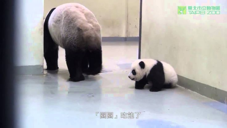 Baby Panda Must Go To Bed (Cuteness overload)... seriously though i'm crying