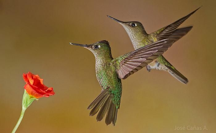 Green-backed firecrown hummingbirds, Chile, by José Cañas