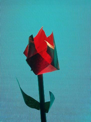 Peter Saville (a rose grows in Manchester)