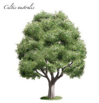 Almez (Celtis australis)