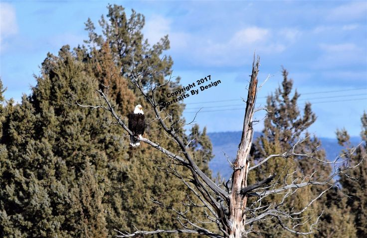 Eagle Watch, 2017 Special Bald Eagle, Lake Billy Chinook, wood panel