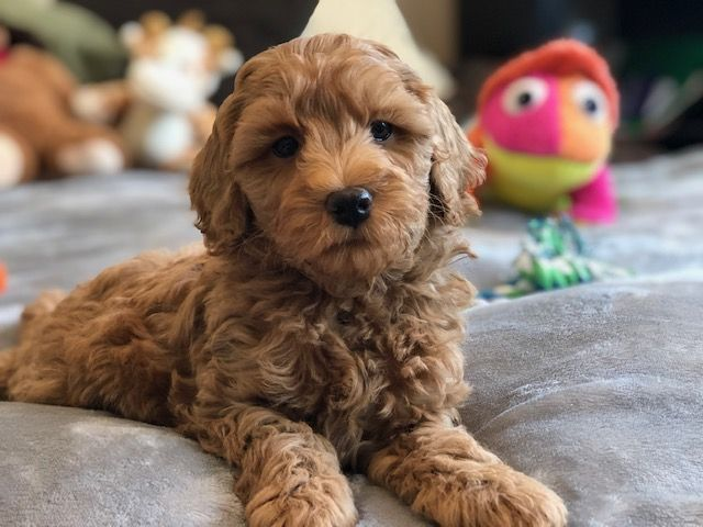 Miniature Labradoodle | Toy Labradoodle Puppies | Small