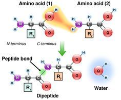 Peptide bond - Condensation reaction. Lose a water by taking a H from the N-term side of one amino acid and an OH from the c-term of the other amino acid