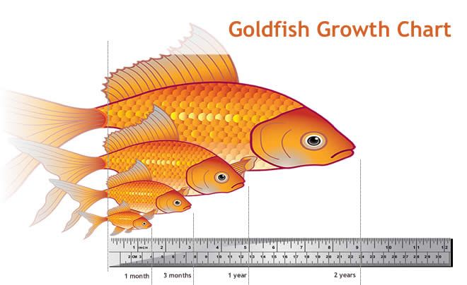 goldfish can live up to 20 years and grow up to 10in ... wow who knew