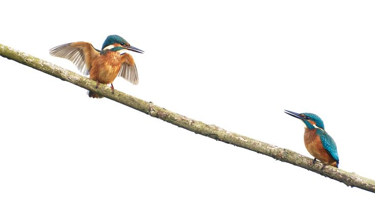 2 Kingfishers by Erik Veldkamp / 500px