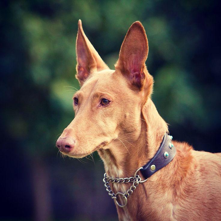 Lulu.  The pretty one.   Pharaoh Hound.