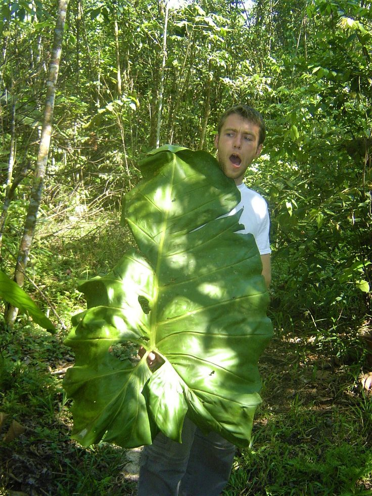Look at how big this #plant #leaf is! It is as big as me! The #Amazon #jungle is full of surprises! Have you ever seen a leaf so big? There are many #TreasuresOfTraveling to explore in #Iquitos and the surrounding #Peruvian #Rainforest that you won't want to miss! http://treasuresoftraveling.com/jungle-expedition-in-the-amazon-rainforest/