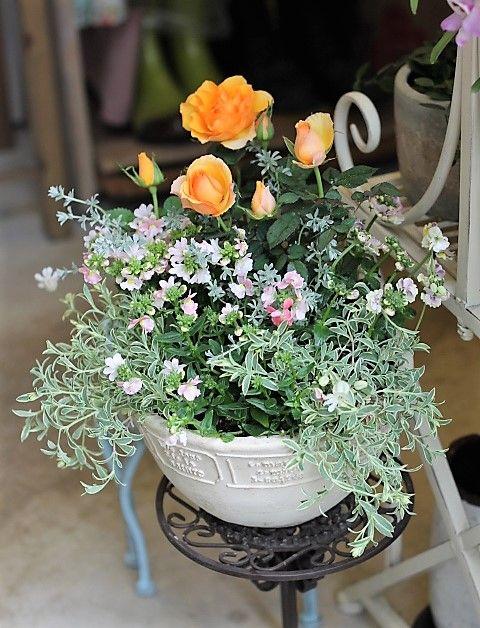 ミニバラ・マンダリン、ネメシア、シレネ、春の花寄せ植え。   サザンフィールドのガーデニング日記。
