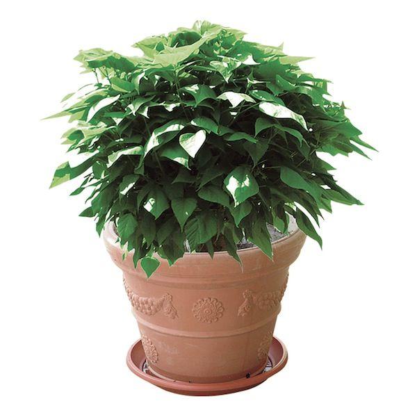Catambra pianta antizanzare