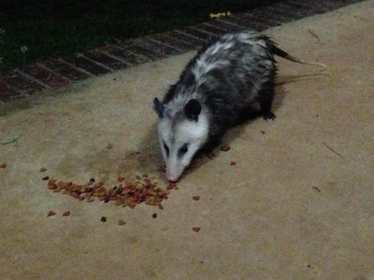 Possum eating cat's food aMINALS!! Pinterest Cats