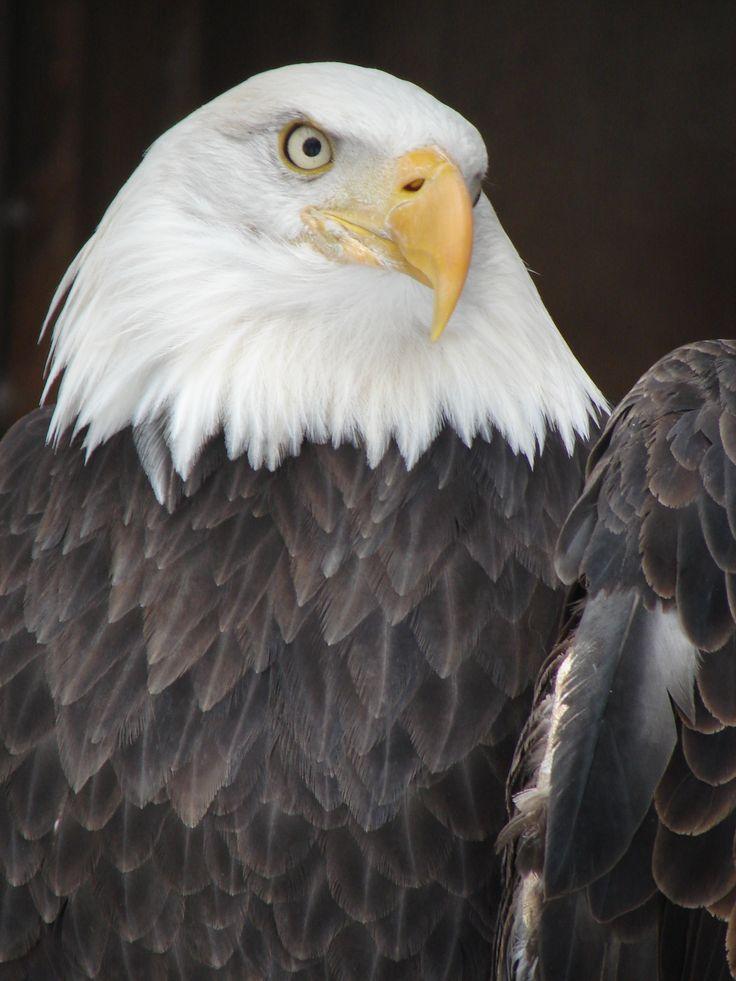 Bald headed eagle number 2