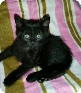 Kittens For Sale In Cleveland Ohio