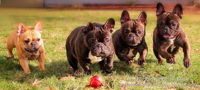 Foto de un grupo de Bulldogs Franceses jugando en el jardín. Característica peculiar de las orejas de murciélago. Razas de perros pequeños (Photo of a group of French Bulldogs playing in the garden. Small dog breeds).