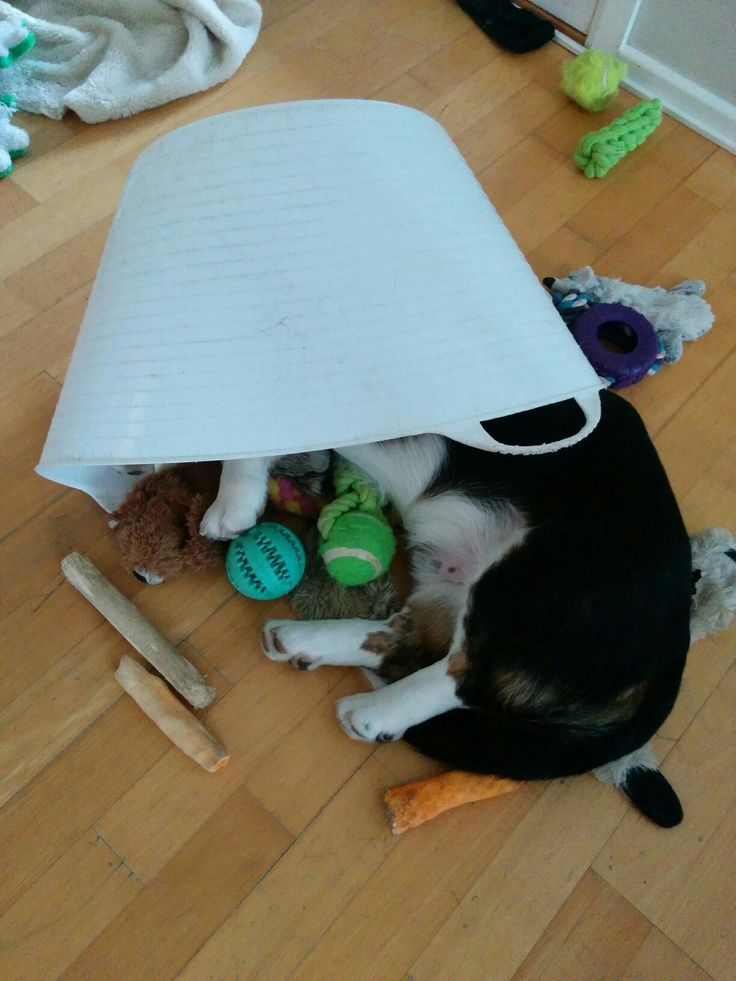See the toy, Feel the toy,  Be the toy .. Manu Welsh corgi cardigan tricolor.