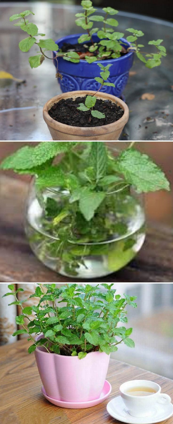 How To Grow Mint Indoors The Most Effective Growing Steps Growing Mint Indoors Gardening Tips Growing Mint Indoors Growing Mint Growing Food Indoors