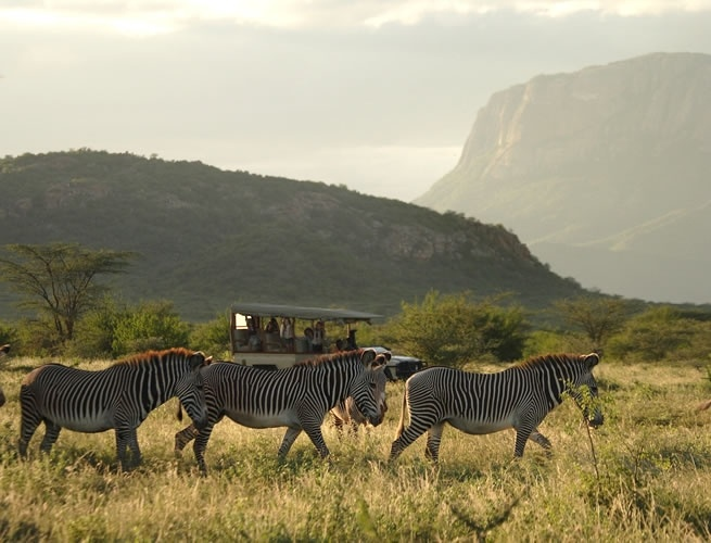 Our Wildlife at Saruni Samburu - The Gravy Zebra Trust which works in Northern Kenya and kalama conservancy works to conserve Grevy's zebra in collaboration with local communities. It recognizes and supports the critical role played by pastoral people whose livelihoods.