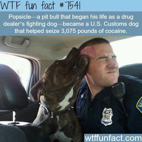 A drug dealer's fighting dog became a police dog - WTF fun facts